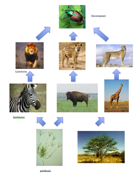 Food Chain and Food Web - Tropical Savanna (Grassland) Biome